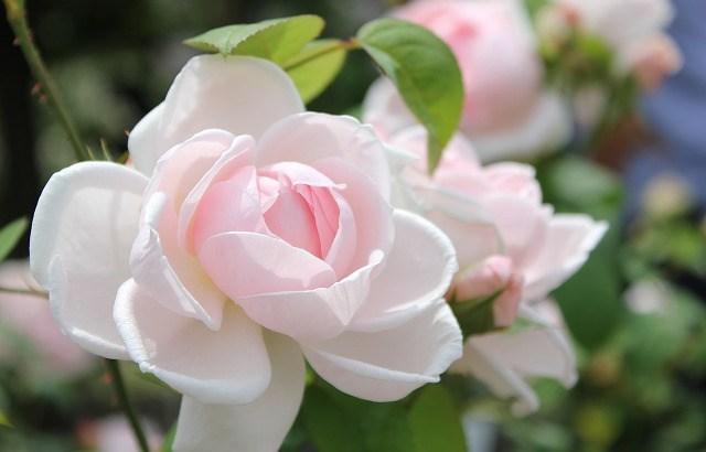 「花よりも花の如く」14巻  成田美名子  感想