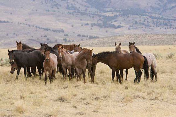 Image result for wild horses of nevada