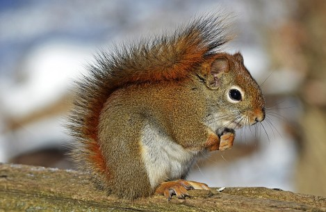 red-squirrel-570936_960_720