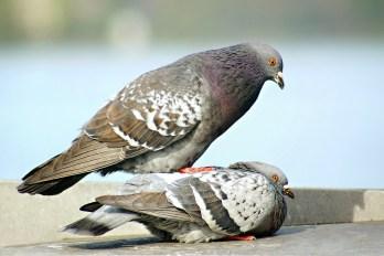 pigeons-226527_1280