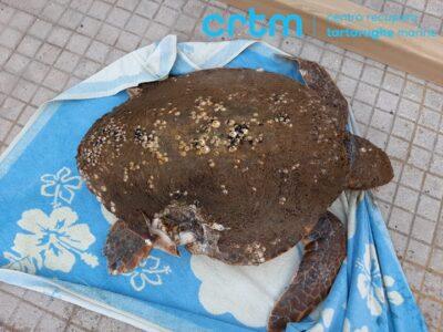 Puglia, una tartaruga marina ferita soccorsa a largo di Torre San Giovanni
