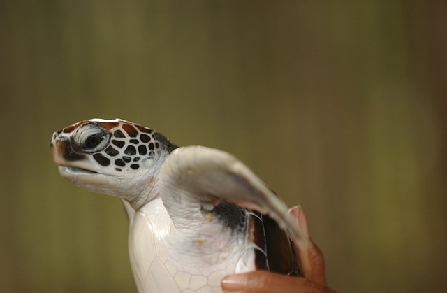 Otranto tartarughe marine liberate