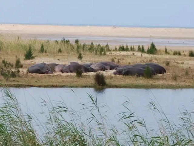 Ippopotami sulle rive del fiume a Saint Lucia