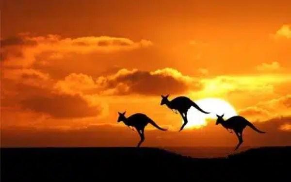 Canguri, animali simbolo dell'Australia