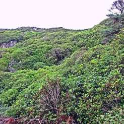 Pontic Rhododendron, Isola di Lewis - Ebridi, Scozia