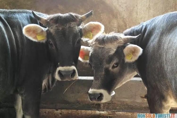 Mucche - Pont Canavese, Piemonte