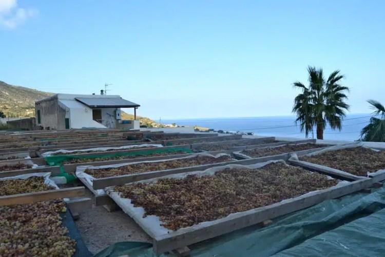 Essiccamento di Malvasia sui cannizzi - Sicilia, Italy