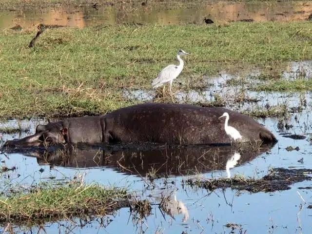 Ippopotamo, fiume Chobe - Botswana