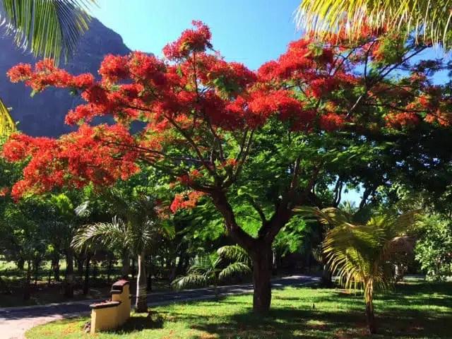 Flamboyant - Mauritius