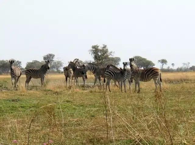 Zebre - Botswana