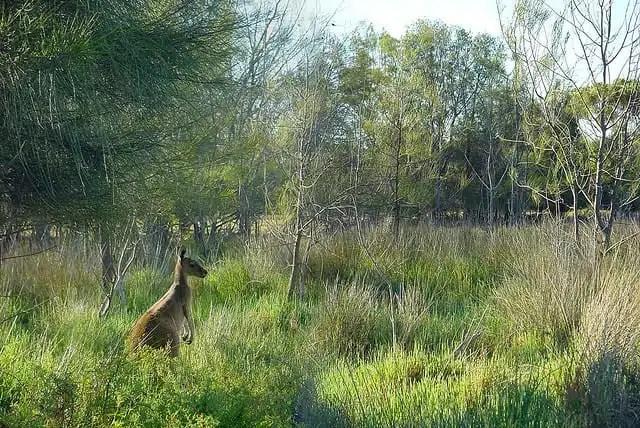 Canguro - Heirisson Island, Australia