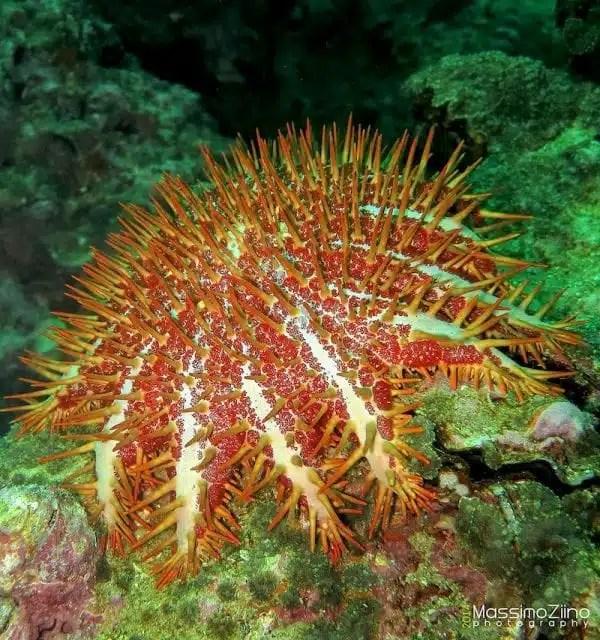 Crown-of-thorns starfish - Musandam, Oman