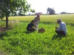 Bellaria Igea Marina raccolta erbe selvatiche