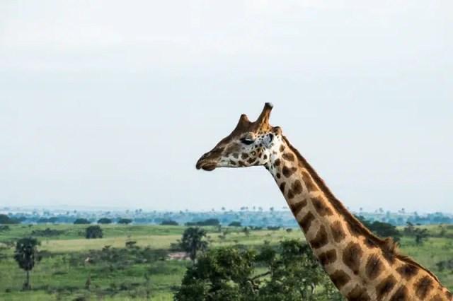 Giraffa - Uganda