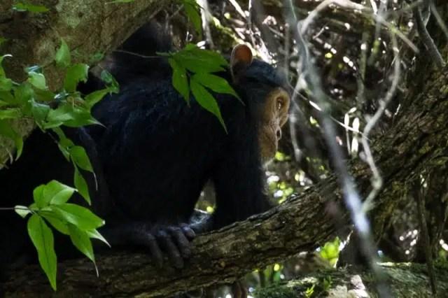 Scimpanzé - Uganda