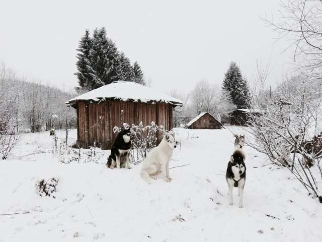 Allevamento di husky, Angerberg - Tirolo, Austria
