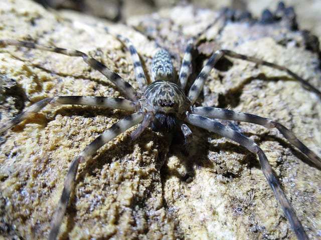 Huntsmen spider_Christian Holland - Australia, animali pericolosi