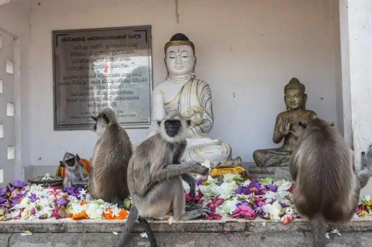 Scimmie che mangiano fiori su un'altare dedicato a Buddha