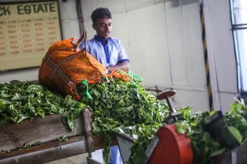 La fabbrica del tè di Pussellawa