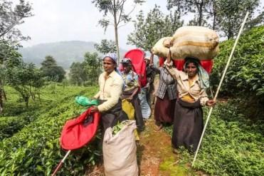 Termine della raccolta delle foglie di tè
