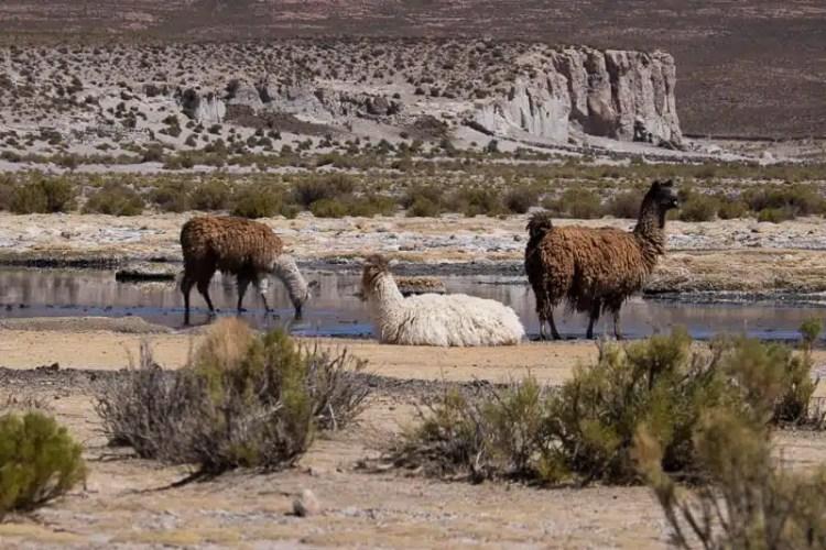 Riserva Naturale fauna Andina Eduardo Avaroa