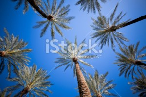 stock-photo-16103065-palm-trees