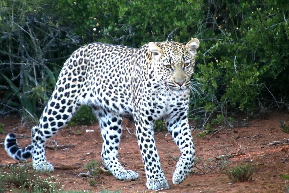 06Nov18Leopard8