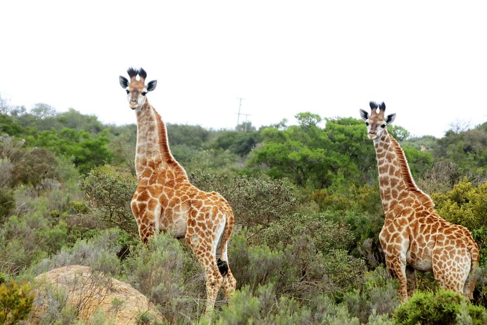 08Nov18Giraffe6