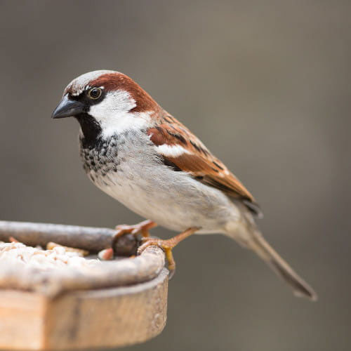 11Jan21Housesparrow