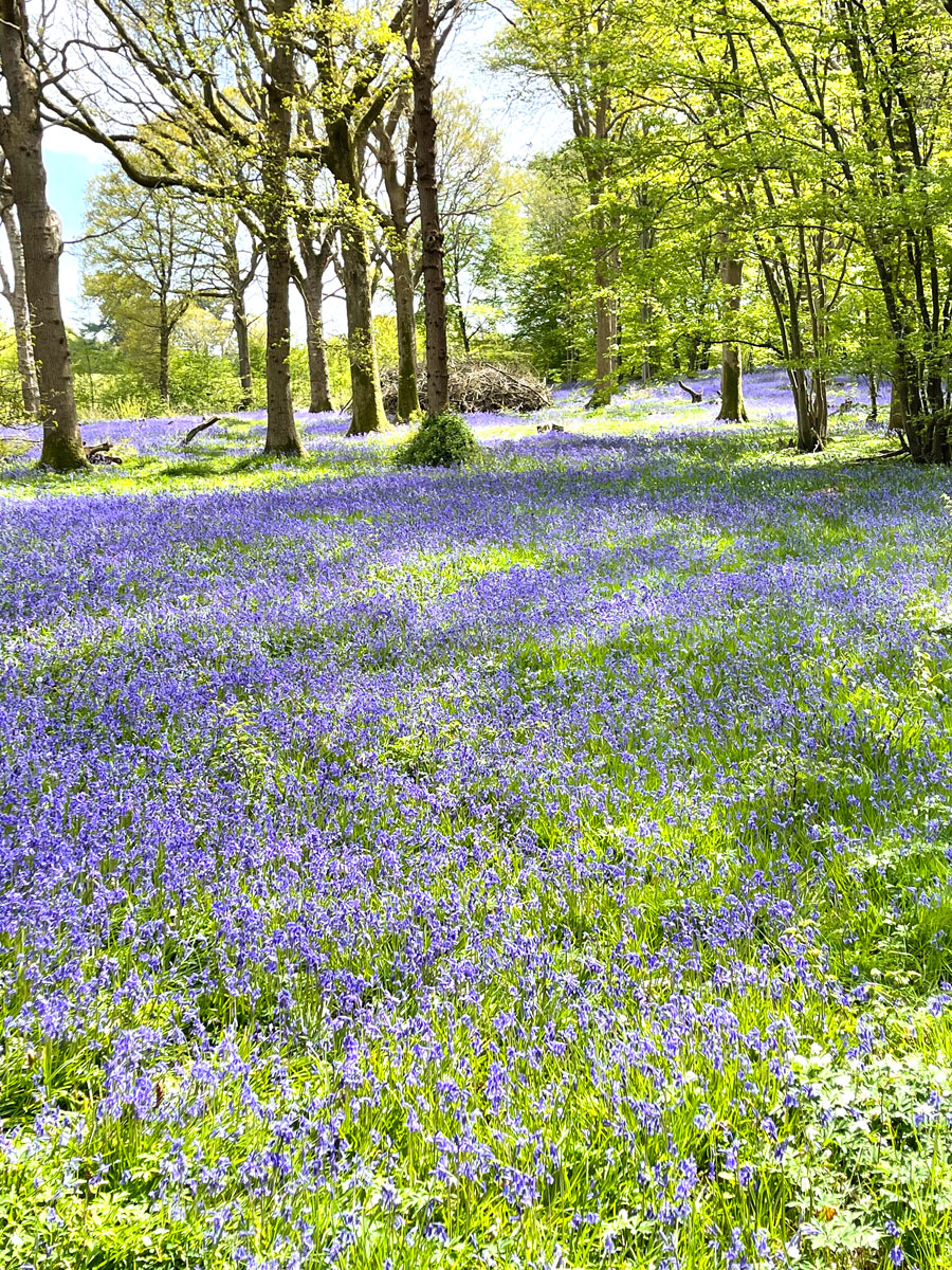 12May21Bluebell5