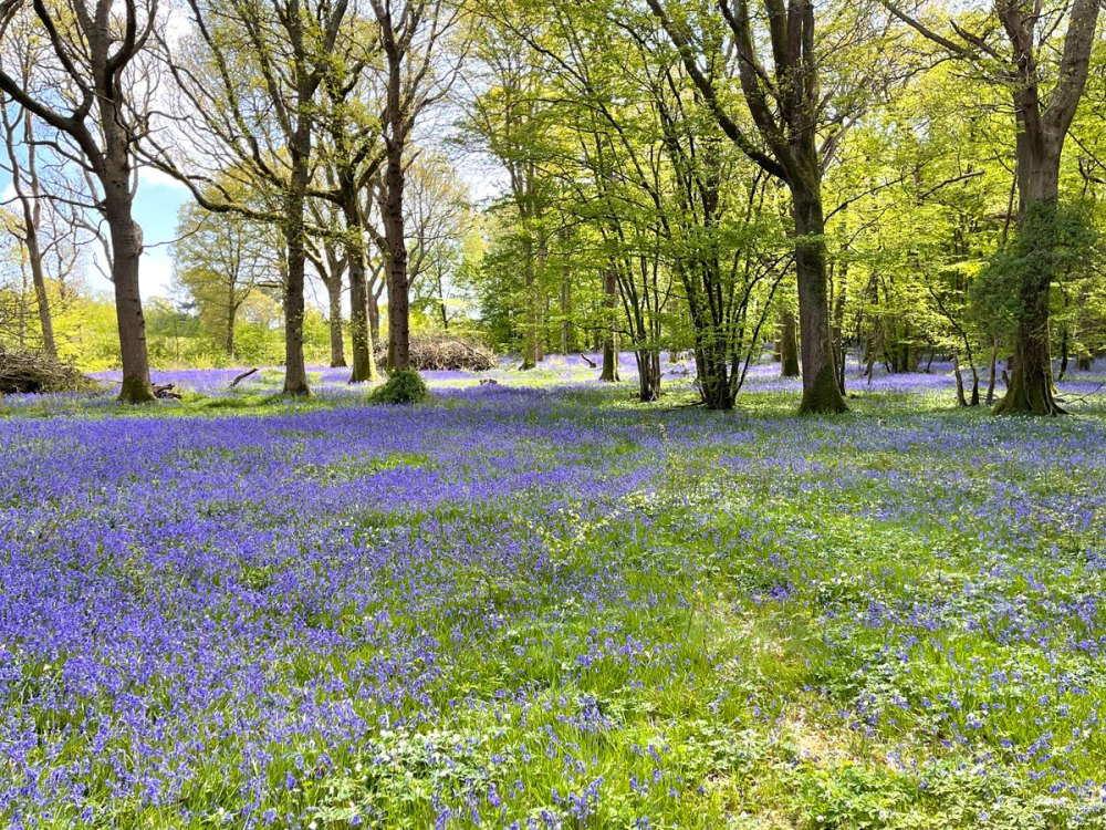12May21Bluebell6