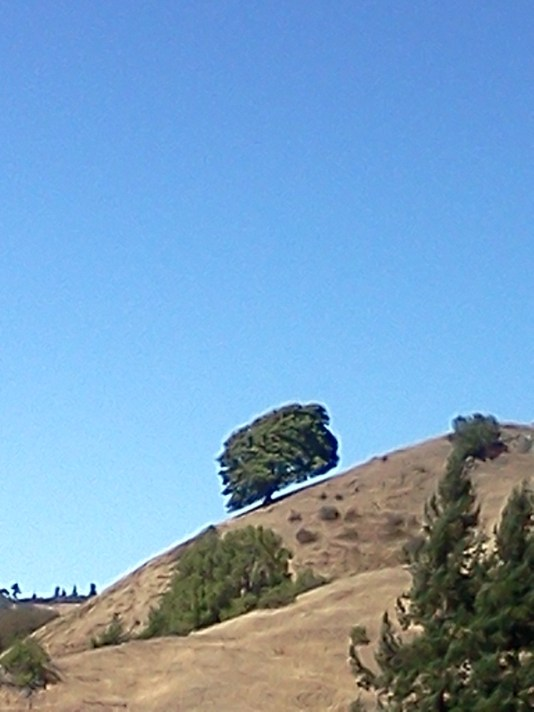 Full Crown oak tree