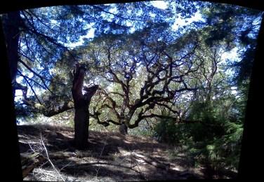 old growth white oak
