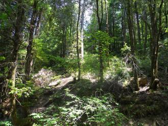 Pt.11.flat hillside from 3 old camp redwoods