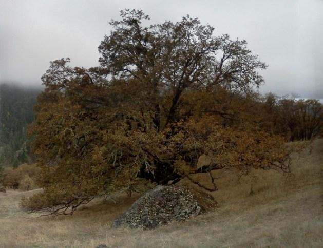 White oak in rainy van duzen