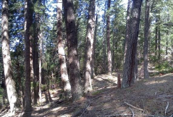 MR DF 80y Forest