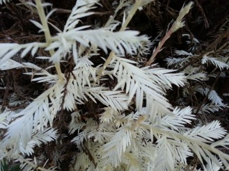 As tempting as it is, dont pick the leaves! They do not dry or press as white leaves. They will look just like dead redwood leaves.