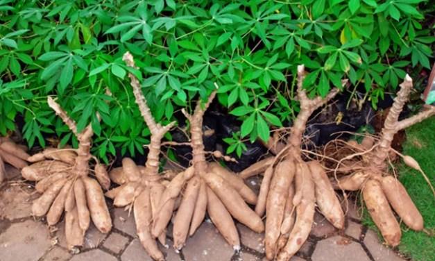 Cassava bilang Food of the Future!
