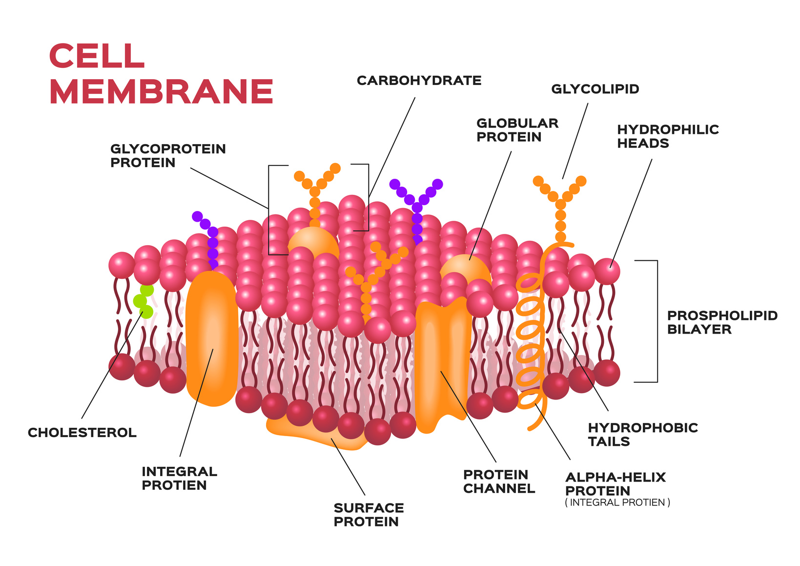 diagram of fluid mosaic model cell membrane stihl fs 38 parts the gallery for gt