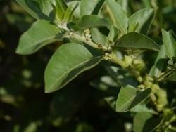 Ashwagandha plant.