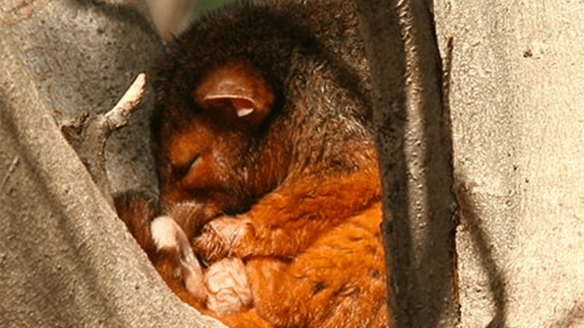 A common Australian ringtail possum