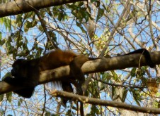 Lazy days-howler at Ometepe
