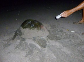 Pacific Black Sea Turtle going back to the water - Tamarindo