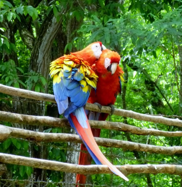 Scarlet Macaws - Copan Mayan Ruins,Honduras