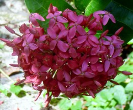 A cluster of flowers - Copan