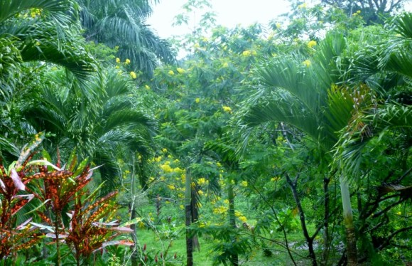 flowering tree - Bocas del Toro