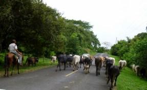 Herding the cows - modern day vaquero - Azuero Peninsula