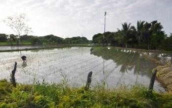 Rice paddies near Manta
