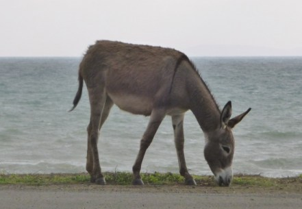 wild burro by the ocean - south of Manta
