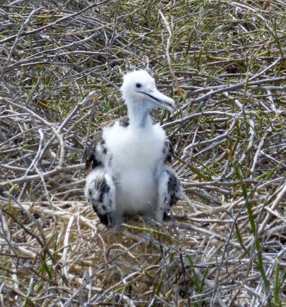 Magnificent Frigate Bird chick, No. Seymour Island, Galapagos Islands